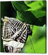 Zebra Long-wing Butterfly  Canvas Print