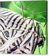 Zebra Long-wing Close-up Canvas Print
