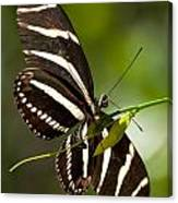 Zebra Longwing 3 Canvas Print