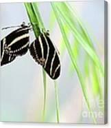 Zebra Longwing Butterflies Mating Canvas Print