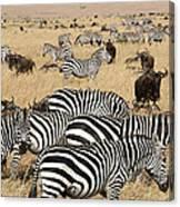 Zebra Migration Maasai Mara Kenya Canvas Print