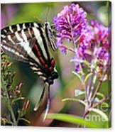 Zebra Swallowtail Butterfly At Butterfly Bush Canvas Print