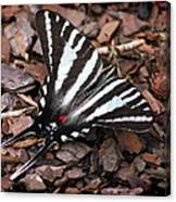 Zebra Swallowtail Butterfly Canvas Print