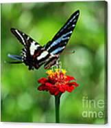 Zebra Swallowtail Butterfly On A Red Zinnia Canvas Print