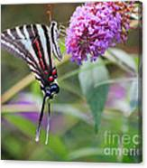 Zebra Swallowtail Butterfly On Butterfly Bush  Canvas Print