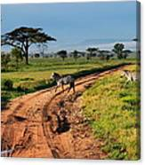 Zebras Cross The Road Canvas Print