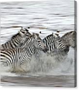 Zebras Crossing The Mara River Canvas Print