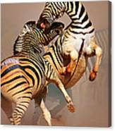 Zebras Fighting Canvas Print