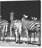 Zebras From Behind Canvas Print