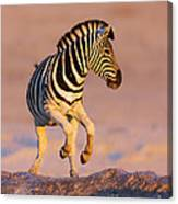 Zebras Jump From Waterhole Canvas Print