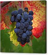 Zinfandel Grapes Canvas Print