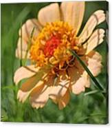 Zinnia From The Candy Mix Canvas Print