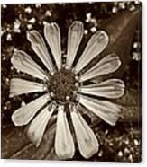 Zinnia Monochrome Canvas Print