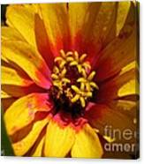 Zinnia Named Swizzle Scarlet And Yellow Canvas Print