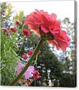 Zinnia Side View Canvas Print
