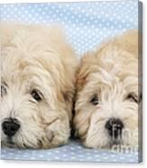 Zuchon Teddy Bear Dogs, Lying Canvas Print