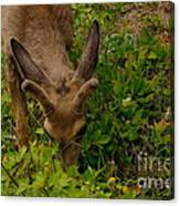 A Young Buck Grazing Canvas Print
