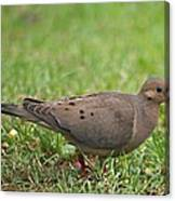 Backyard Mourning Dove  Canvas Print