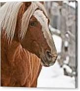 Belgian Horse Lord Canvas Print