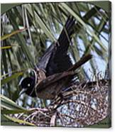Boat-tailed Grackle - Quiscalus Major Canvas Print