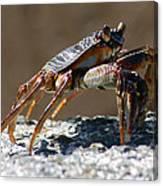 Crab On Rock Canvas Print