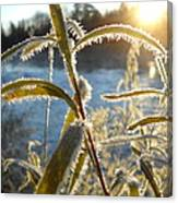Frost On Willow At Sunrise Canvas Print