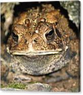 Grumpy Toad Canvas Print