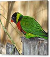 Lorikeet Parrot Sitting On A Fence Post  Canvas Print
