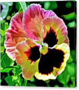 Pink And Yellow Pansy Canvas Print
