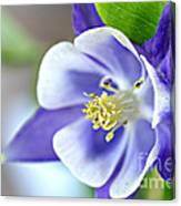 Purple Columbine Bloom Canvas Print