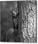 Red Squirrel In Bw Canvas Print