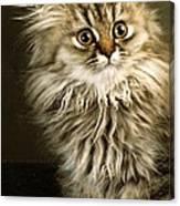 Startled Persian Kitten Canvas Print