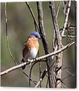 Sucarnoochee River - Bluebird Canvas Print