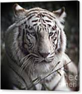 The Tiger's  Watchful Eye Canvas Print
