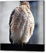 04 Falcon Canvas Print