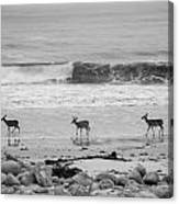 4 Deer In Ocean Black And White Canvas Print
