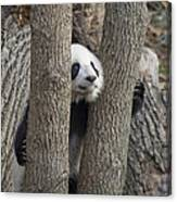 A Baby Panda Plays On A Branch Canvas Print