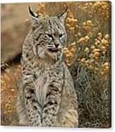 A Bobcat Canvas Print