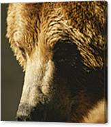 A Close View Of The Face Of A Grizzly Canvas Print