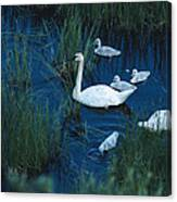 A Family Of Trumpeter Swans Swims Canvas Print