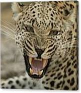 A Female Leopard, Panthera Pardus Canvas Print