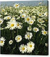A Field Filled With Daisies In Bloom Canvas Print