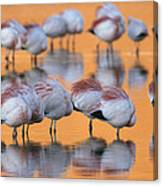 A Flock Of Migratory Flamingos Roost Canvas Print