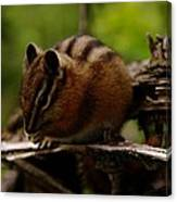 A Little Chipmunk Canvas Print