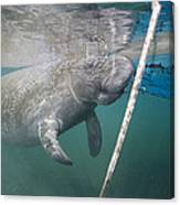 A Manatee Gets Dangerously Close Canvas Print