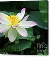 A Pink Tipped White Lotus Canvas Print