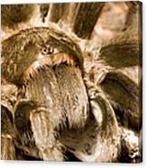 A Tarantula Living In Mangrove Forest Canvas Print