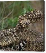 A Western Diamondback Rattlesnake Canvas Print