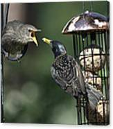 Adult Starling Feeds A Juvenile Canvas Print