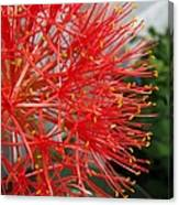 African Blood Lily Or Fireball Lily Canvas Print